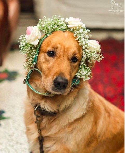 Furry mate with a floral headband and a beautiufl bride=  'pawfect Moment' - 1
